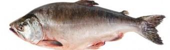 Saumon sauvage et d'élevage : quelle différence ?