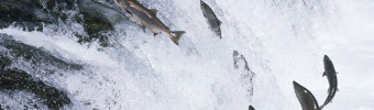 Go wild for Pacific salmon