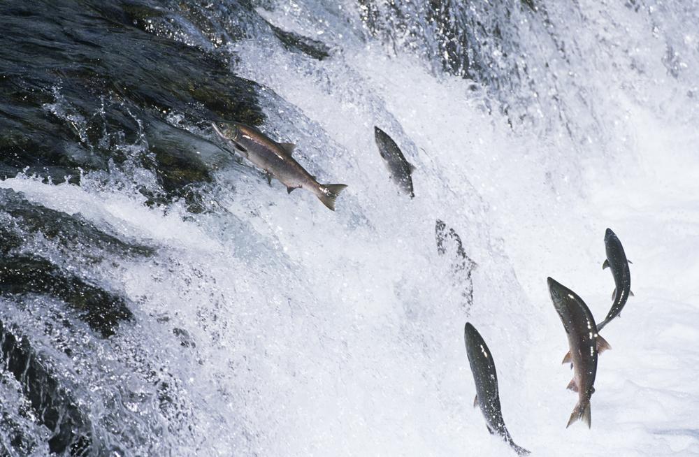 Iedereen wild van pacifische zalm for Nadar contra la corriente