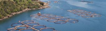 Schadelijke algenbloei in Chili: wat betekent dit voor de handel in gekweekte zalm?